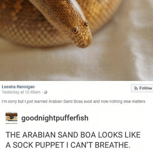 Ironic, Sorry, and Boa: Leesha Hannigan  Yesterday at 1248am.  Follow  I'm sorry but I just learned Arabian Sand Boas exist and now nothing else matters  goodnightpufferfish  THE ARABIAN SAND BOA LOOKS LIKE  A SOCK PUPPET I CAN'T BREATHE.