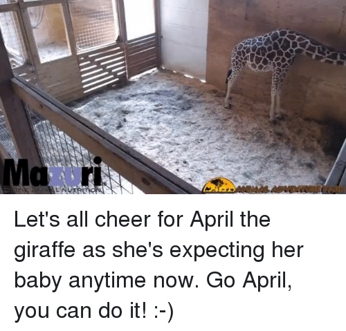Memes, April, and Cheerfulness: Let's all cheer for April the giraffe as she's expecting her baby anytime now. Go April, you can do it! :-)