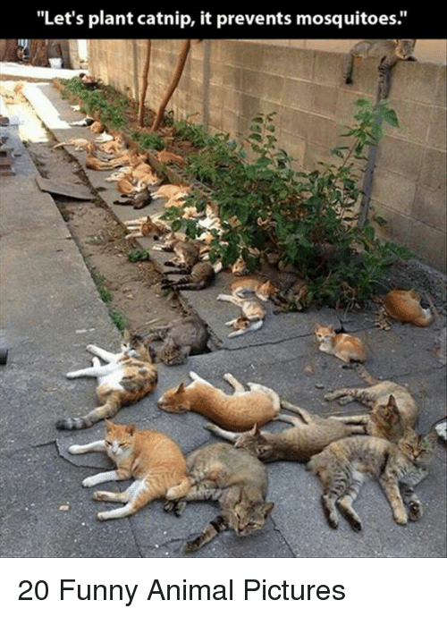 Image of: Pictures Animals Anime And Funny Getty Images Lets Plant Catnip It Prevents Mosquitoes 20 Funny Animal Pictures