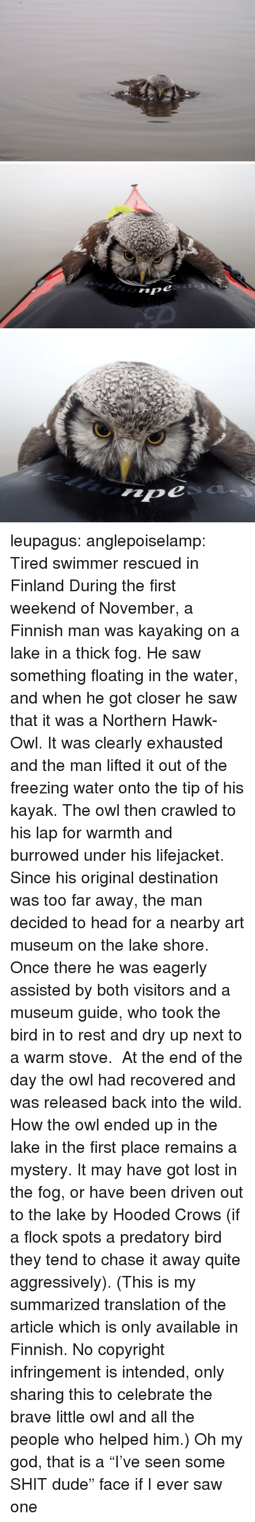 """Dude, God, and Head: leupagus:  anglepoiselamp:  Tired swimmer rescued in Finland During the first weekend of November, a Finnish man was kayaking on a lake in a thick fog. He saw something floating in the water, and when he got closer he saw that it was a Northern Hawk-Owl. It was clearly exhausted and the man lifted it out of the freezing water onto the tip of his kayak. The owl then crawled to his lap for warmth and burrowed under his lifejacket. Since his original destination was too far away, the man decided to head for a nearby art museum on the lake shore. Once there he was eagerly assisted by both visitors and a museum guide, who took the bird in to rest and dry up next to a warm stove. At the end of the day the owl had recovered and was released back into the wild. How the owl ended up in the lake in the first place remains a mystery. It may have got lost in the fog, or have been driven out to the lake by Hooded Crows (if a flock spots a predatory bird they tend to chase it away quite aggressively). (This is my summarized translation of the article which is only available in Finnish. No copyright infringement is intended, only sharing this to celebrate the brave little owl and all the people who helped him.)  Oh my god, that is a """"I've seen some SHIT dude"""" face if I ever saw one"""