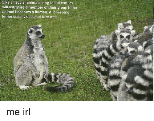 [Image: like-all-social-animals-ring-tailed-lemu...974979.png]