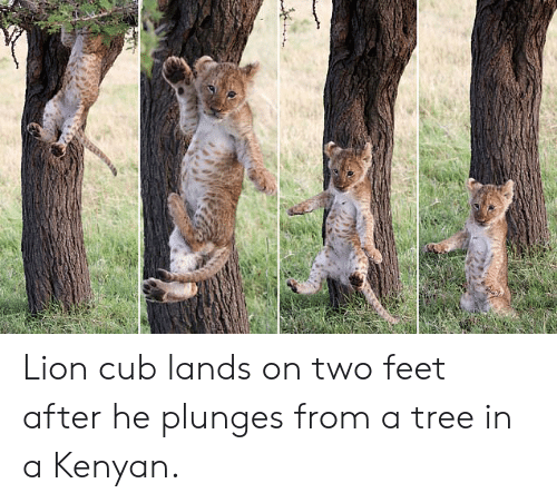 Lion, Tree, and Feet: Lion cub lands on two feet after he plunges from a tree in a Kenyan.