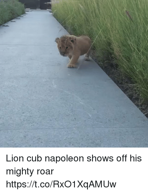 me.me: Lion cub napoleon shows off his mighty roar  https://t.co/RxO1XqAMUw