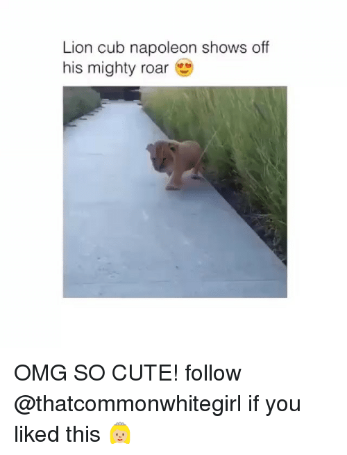 Cute, Omg, and Cubs: Lion cub napoleon shows off  his mighty roar OMG SO CUTE! follow @thatcommonwhitegirl if you liked this 👸🏼
