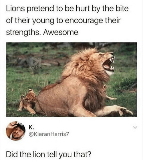 lions pretend to be hurt by the bite of their 29661855 25 best lions memes abandonment memes, circus memes, the circus memes