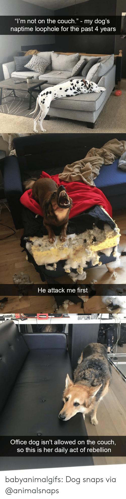 "Dogs, Tumblr, and Blog: ""l'm not on the couch."" - my dog's  naptime loophole for the past 4 years   He attack me first   Office dog isn't allowed on the couch  so this is her daily act of rebellion babyanimalgifs: Dog snaps via @animalsnaps"