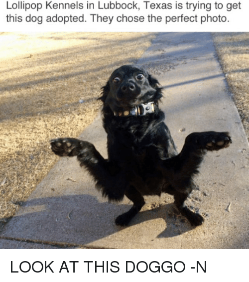 Memes, Texas, and 🤖: Lollipop Kennels in Lubbock, Texas is trying to get  this dog adopted. They chose the perfect photo LOOK AT THIS DOGGO -N