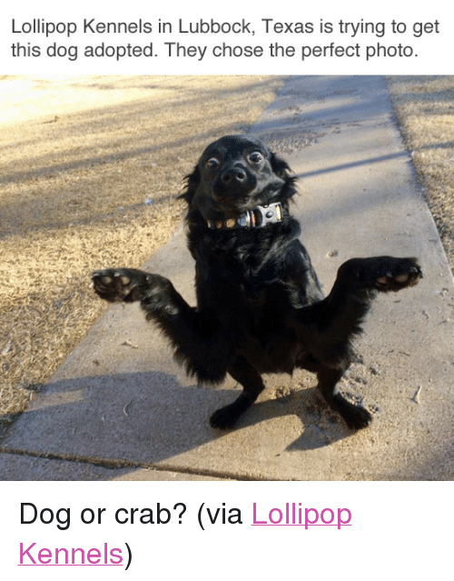"""Facebook, Target, and facebook.com: Lollipop Kennels in Lubbock, Texas is trying to get  this dog adopted. They chose the perfect photo. <p>Dog or crab? (via <a href=""""https://www.facebook.com/kpoplolli/photos/pb.126652510723910.-2207520000.1487723835./1231224243600059/?type=3&amp;theater"""" target=""""_blank"""">Lollipop Kennels</a>)<br/></p>"""