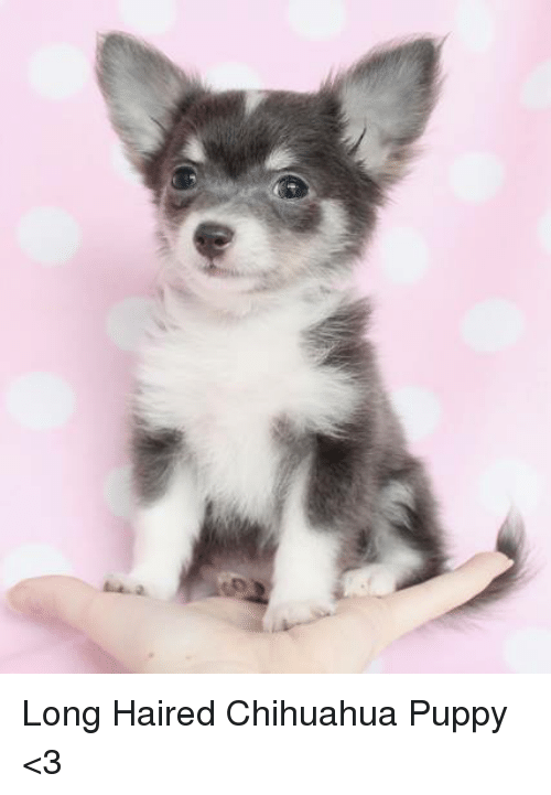 Long Haired Chihuahua Puppy 3 Chihuahua Meme On Me Me