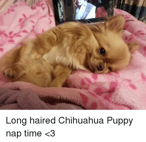 Long Haired Chihuahua Puppy Nap Time 3 Chihuahua Meme On