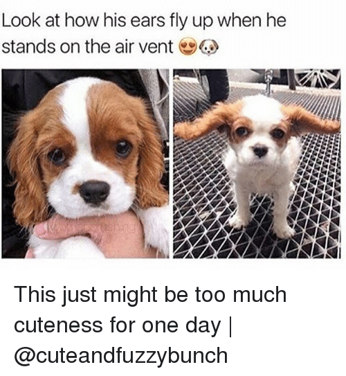 Memes, Too Much, and 🤖: Look at how his ears fly up when he  stands on the air vent This just might be too much cuteness for one day   @cuteandfuzzybunch