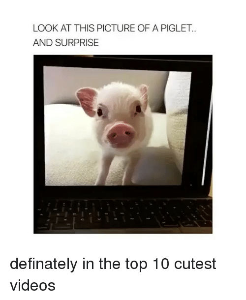 Memes, Videos, and 🤖: LOOK AT THIS PICTURE OF A PIGLET  AND SURPRISE definately in the top 10 cutest videos