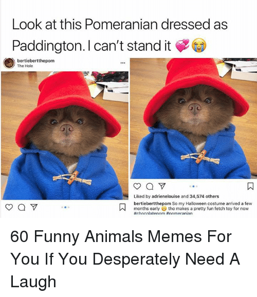 Animals, Funny, and Funny Animals: Look at this Pomeranian dressed as  Paddington. I can't stand it  bertiebertthepom  The Hole  Liked by adrienelouise and 34,574 others  bertiebertthepom So my Halloween costume arrived a few  months early tho makes a pretty fun fetch toy for now  60 Funny Animals Memes For You If You Desperately Need A Laugh