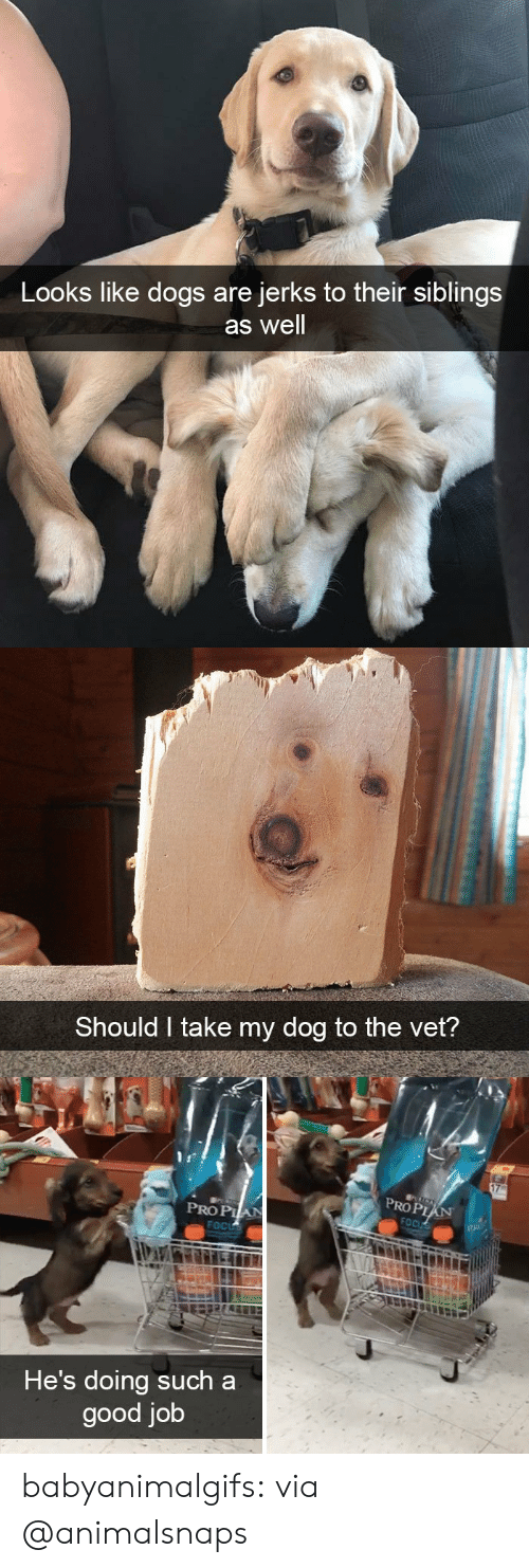 Dogs, Tumblr, and Blog: Looks like dogs are  jerks to their siblings  as well   Should I take my dog to the vet?   PROP  PRO PIA  He's doing such a  good job babyanimalgifs:  via @animalsnaps