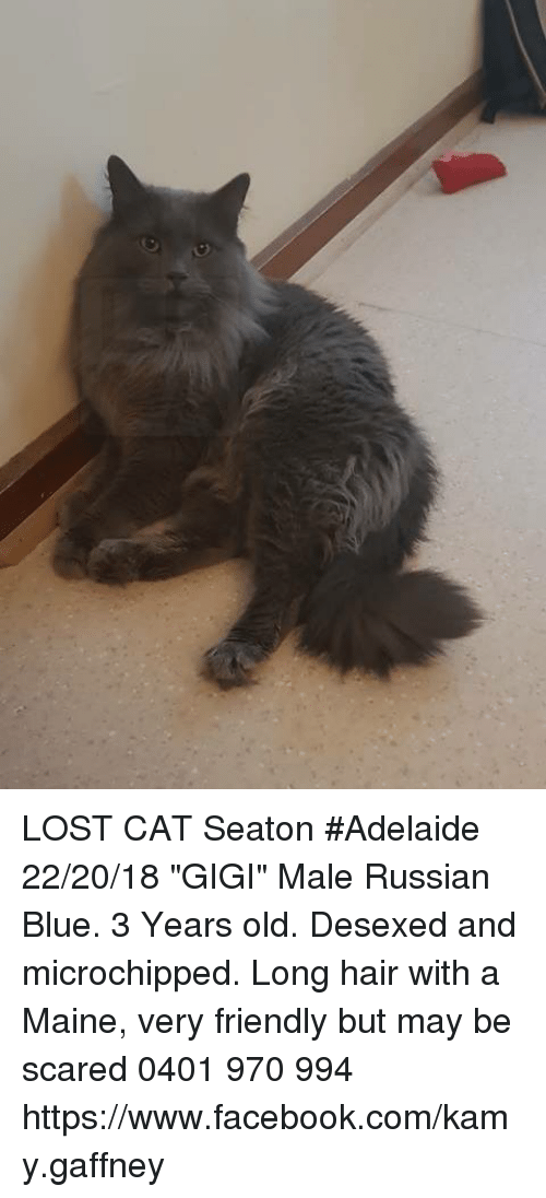 Lost Cat Seaton Adelaide 222018 Gigi Male Russian Blue 3 Years Old