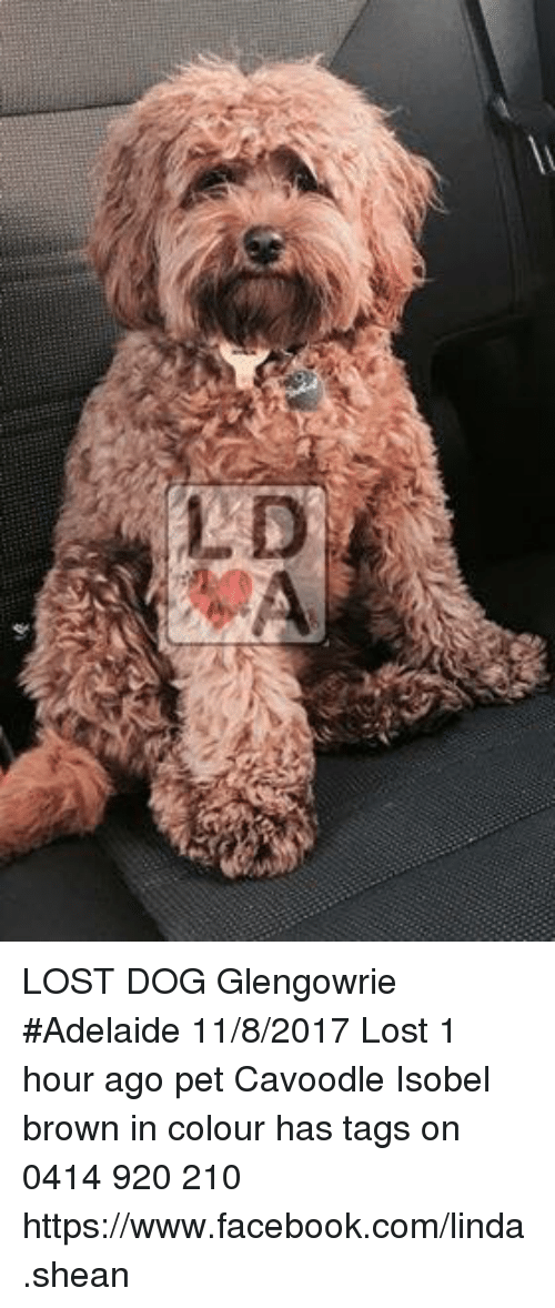 Cavoodle adelaide