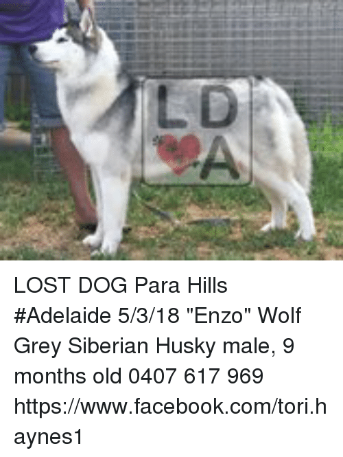 Lost Dog Para Hills Adelaide 5318 Enzo Wolf Grey Siberian Husky