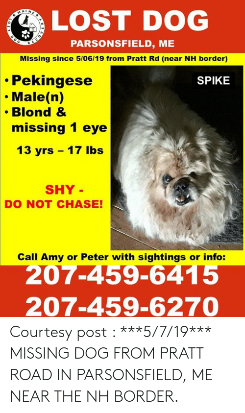 Memes, Lost, and Chase: LOST DOG  PARSONSFIELD, ME  Missing since 5/06/19 from Pratt Rd (near NH border)  Pekingese  Male (n)  Blond &  missing 1 eye  SPIKE  13 yrs 17 lbs  SHY  DO NOT CHASE!  Call Amy or Peter with sightings or info:  207-459-6415  207-459-6270 Courtesy post :  ***5/7/19*** MISSING DOG FROM PRATT ROAD IN PARSONSFIELD, ME NEAR THE NH BORDER.