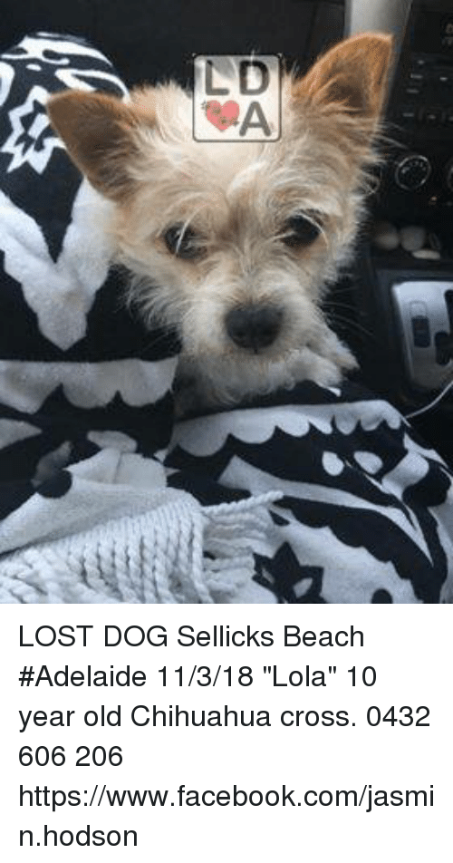 Chihuahua Facebook And Memes Lost Dog Icks Beach Adelaide 11 3