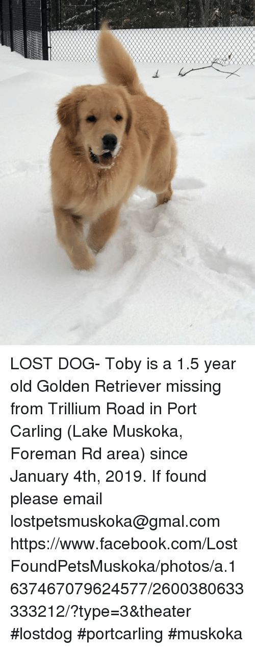 Lost Dog Toby Is A 15 Year Old Golden Retriever Missing From
