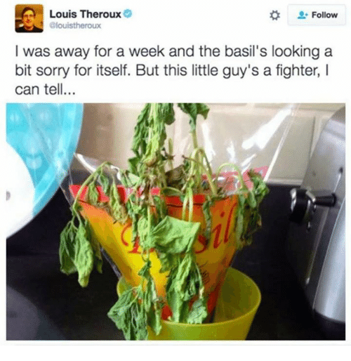 Sorry, Looking, and Can: Louis Theroux  Follow  elouistheroux  I was away for a week and the basil's looking a  bit sorry for itself. But this little guy's a fighter, I  can tell