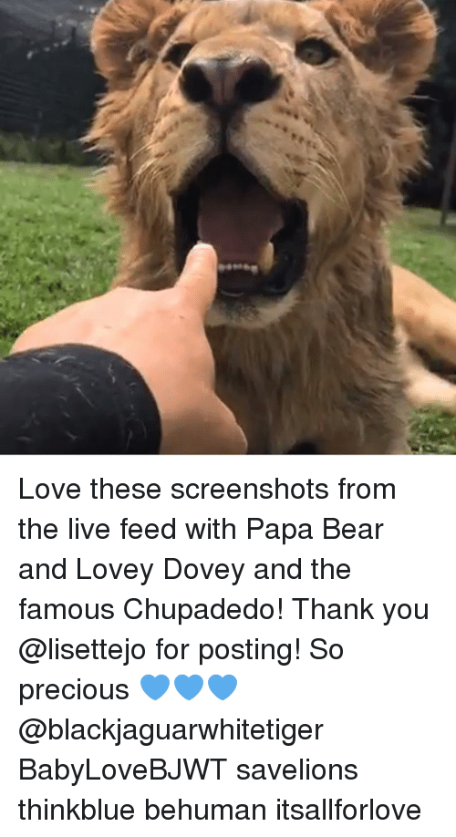 Love, Memes, and Precious: Love these screenshots from the live feed with Papa Bear and Lovey Dovey and the famous Chupadedo! Thank you @lisettejo for posting! So precious 💙💙💙 @blackjaguarwhitetiger BabyLoveBJWT savelions thinkblue behuman itsallforlove