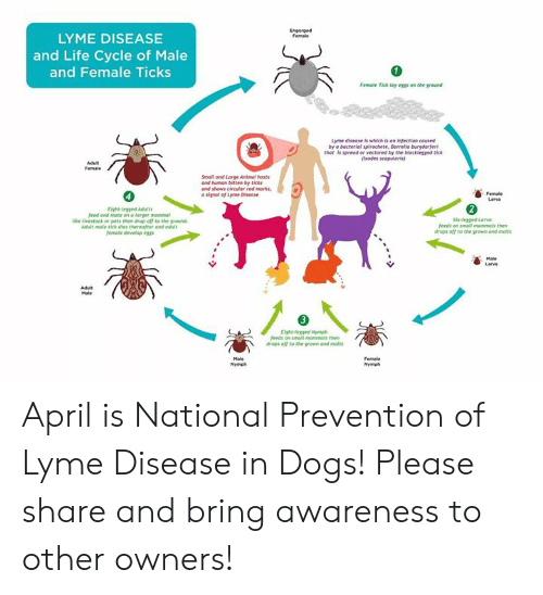 Dogs, Life, and Memes: LYME DISEASE  and Life Cycle of Male  and Female Ticks  Female Tick fay eggs on the ground  Lyme disease is which is on infection caused  by a bacteriol spirochete, Borrelio burgdorfer  thot is spreed or vectored by the blocklegsed tick  sodes scapularis  Smail and Lerge Animal hosts  and humon bitten by bicks  and shows circular red morks  a signal of Lyme Disease  Eight-legged Adults  feed and mate on o larger mammal  like ilvestock or pets then drap off to the ground  Adult male tiek dies thereafter and adult  female deveop eggs  six-legged Larvo  feeds on small mommals then  draps off to the grown and molts  feeds on smal mammals then  drops off to the grown and molts April is National Prevention of Lyme Disease in Dogs!  Please share and bring awareness to other owners!