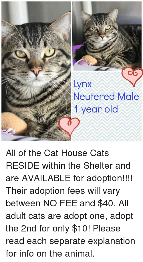 Lynx Neutered Male 1 Year Old All Of The Cat House Cats Reside