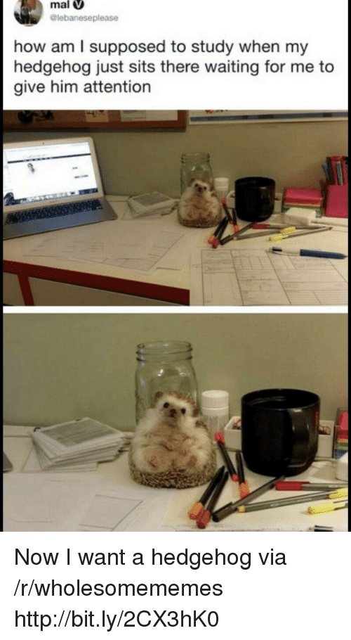 Hedgehog, Http, and Waiting...: mal  lebaneseplease  how am l supposed to study when my  hedgehog just sits there waiting for me to  give him attention Now I want a hedgehog via /r/wholesomememes http://bit.ly/2CX3hK0