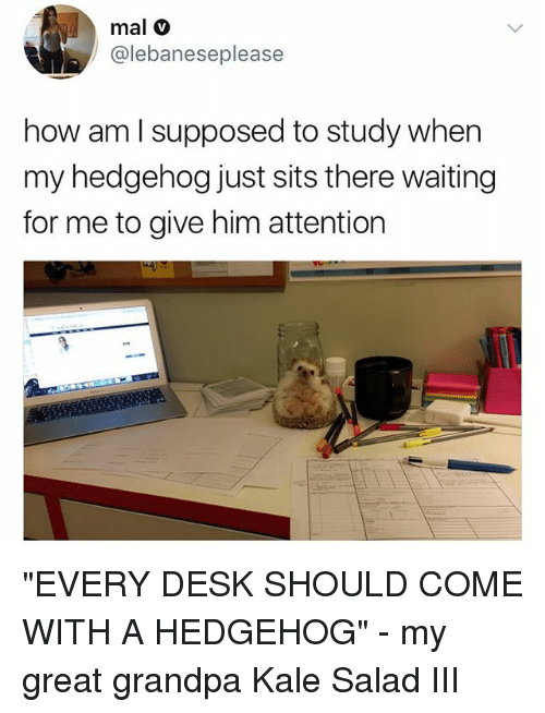 """Memes, Grandpa, and Desk: mal v  @lebaneseplease  how am l supposed to study when  my hedgehog just sits there waiting  for me to give him attention """"EVERY DESK SHOULD COME WITH A HEDGEHOG"""" - my great grandpa Kale Salad III"""
