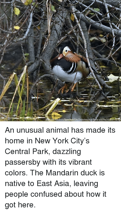 Confused, Memes, and New York: Malcolm Pinckney/New-York-City Department of Parks and Recreation via An unusual animal has made its home in New York City's Central Park, dazzling passersby with its vibrant colors. The Mandarin duck is native to East Asia, leaving people confused about how it got here.