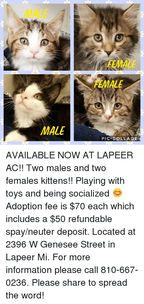Memes, Collage, and Information: MALE  FEMALE  FEMALE  MALE  PIC COLLAGE AVAILABLE NOW AT LAPEER AC!! Two males and two females kittens!! Playing with toys and being socialized 😊 Adoption fee is $70 each which includes a $50 refundable spay/neuter deposit. Located at 2396 W Genesee Street in Lapeer Mi. For more information please call 810-667-0236. Please share to spread the word!