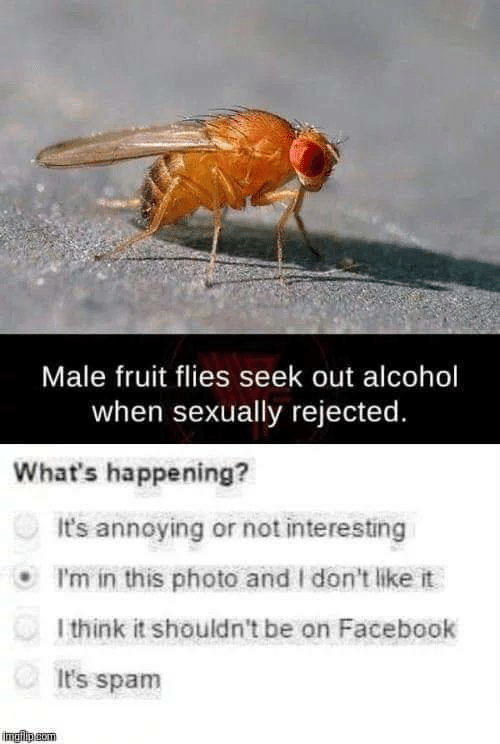 Facebook, Alcohol, and Annoying: Male fruit flies seek out alcohol  when sexually rejected.  What's happening?  It's annoying or not interesting  I'm in this photo and I don't like it  l think it shouldn't be on Facebook  It's spam  imgip.gom