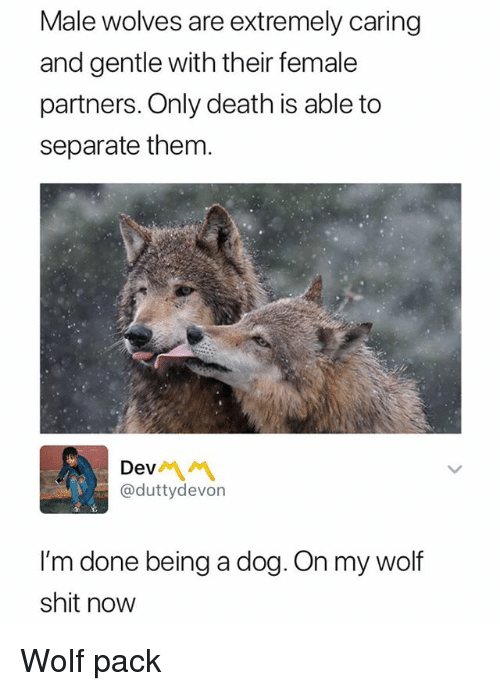 Shit, Death, and Wolf: Male wolves are extremely caring  and gentle with their female  partners. Only death is able to  separate them.  Dev서 서  @duttydevon  I'm done being a dog. On my wolf  shit now Wolf pack