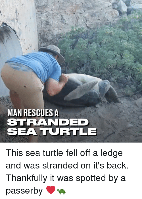 Dank, Turtle, and Back: MAN RESCUES A  STRANDED  SEA TURRTLE This sea turtle fell off a ledge and was stranded on it's back. Thankfully it was spotted by a passerby ❤️🐢