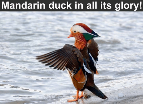 Memes, Duck, and Ducks: Mandarin duck in all its glory!