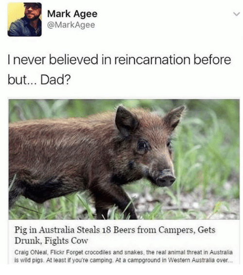Dad, Drunk, and Animal: Mark Agee  @MarkAgee  I never believed in reincarnation before  but... Dad?  Pig in Australia Steals 18 Beers from Campers, Gets  Drunk, Fights Cow  Craig ONeal, Flickr Forget crocodiles and snakes, the real animal threat in Australia  is wild pigs. At least if you're camping. At a campground in Western Australia over...