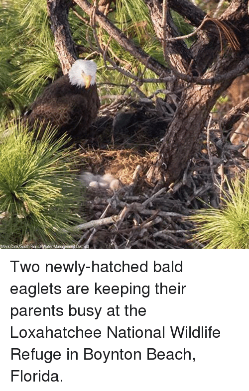 Memes, Parents, and Beach: Mark  Florida Water Management Di Two newly-hatched bald eaglets are keeping their parents busy at the Loxahatchee National Wildlife Refuge in Boynton Beach, Florida.