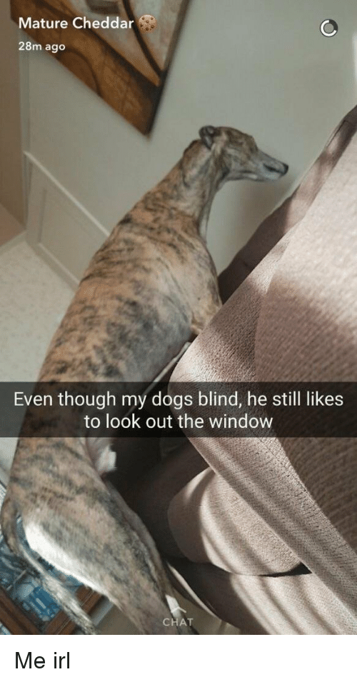 Dogs, Chat, and Irl: Mature Cheddar  28m ago  Even though my dogs blind, he still likes  to look out the window  CHAT