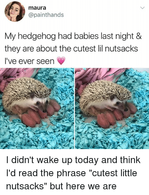 "Memes, Hedgehog, and Today: maura  @painthands  My hedgehog had babies last night &  they are about the cutest lil nutsacks  I've ever seen I didn't wake up today and think I'd read the phrase ""cutest little nutsacks"" but here we are"