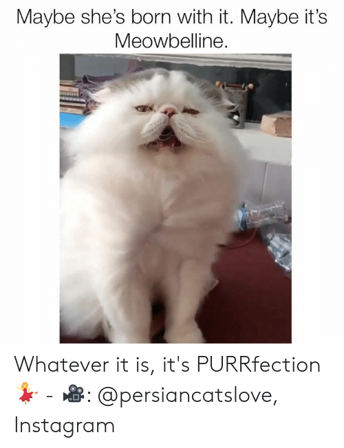 Instagram, Memes, and 🤖: Maybe she's born with it. Maybe it's  Meowbelline. Whatever it is, it's PURRfection 💃 - 🎥: @persiancatslove, Instagram