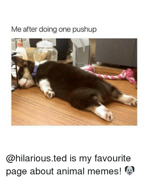 Memes, Ted, and 🤖: Me after doing one pushup @hilarious.ted is my favourite page about animal memes! 🐶