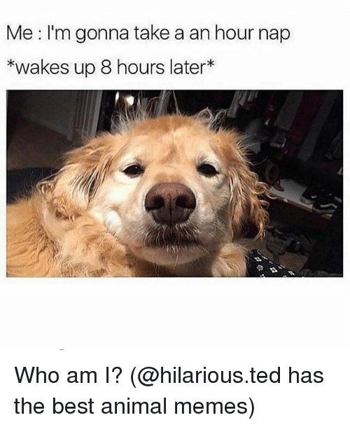 Memes, Ted, and Who Am I: Me I'm gonna take a an hour nap  *wakes up 8 hours later* Who am I? (@hilarious.ted has the best animal memes)