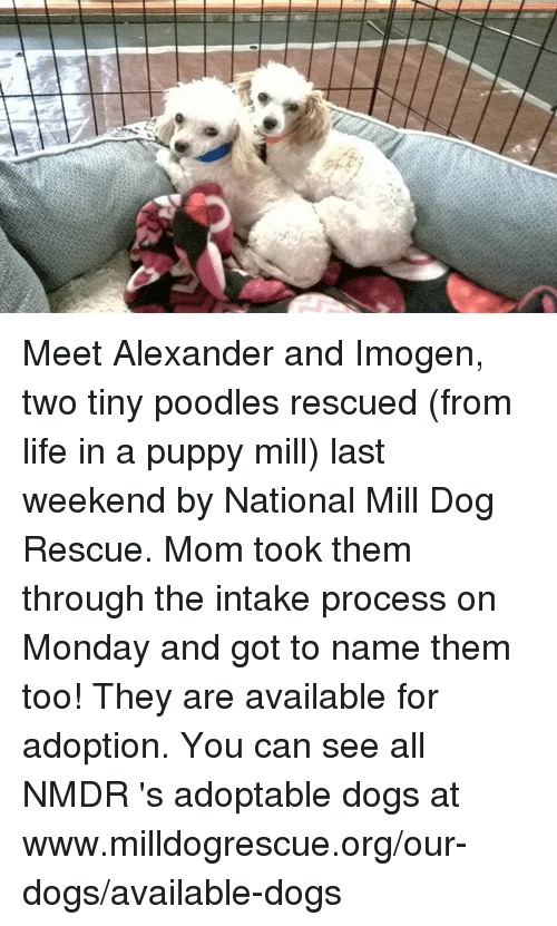 Meet Alexander and Imogen Two Tiny Poodles Rescued From Life