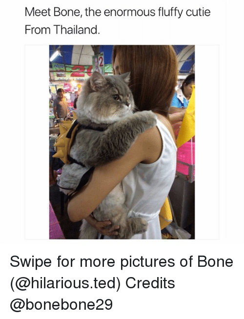 Best Memes About Fluffy Fluffy Memes - This is bone bone the big fluffy cat from thailand the internet is falling in love with