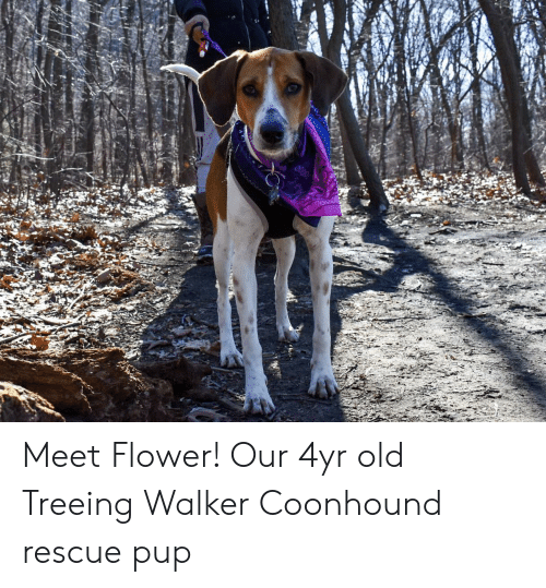 Meet Flower! Our 4yr Old Treeing Walker Coonhound Rescue Pup