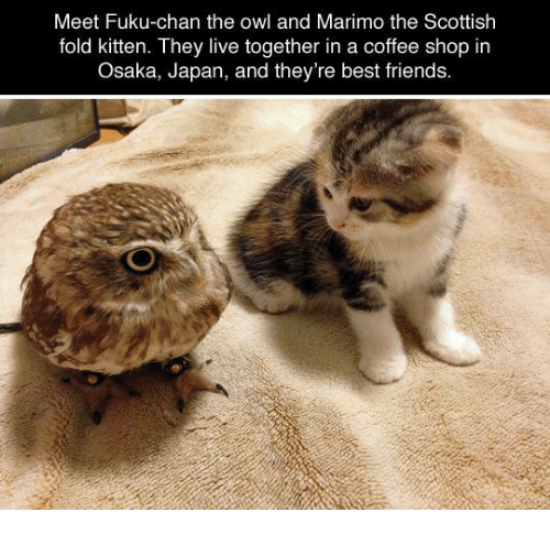 Dank, 🤖, and Owl: Meet Fuku-chan the owl and Marimo the Scottish  fold kitten. They live together in a coffee shop in  Osaka, Japan, and they're best friends.