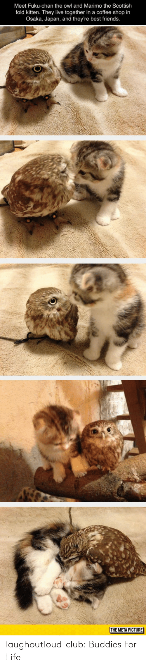 Club, Friends, and Life: Meet Fuku-chan the owl and Marimo the Scottish  fold kitten. They live together in a coffee shop in  Osaka, Japan, and they're best friends  THE META PICTURE laughoutloud-club:  Buddies For Life