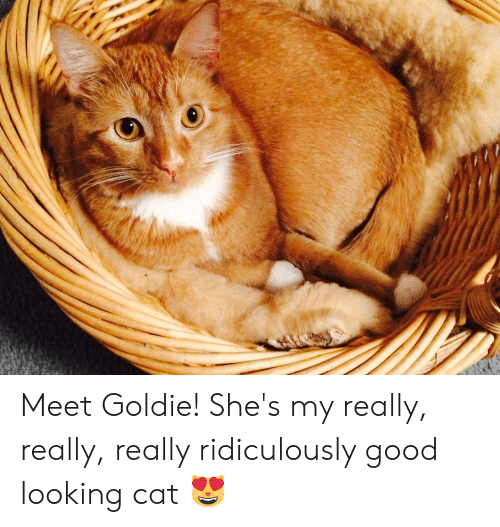 Good, Cat, and Looking: Meet Goldie! She's my really, really, really ridiculously good looking cat 😻