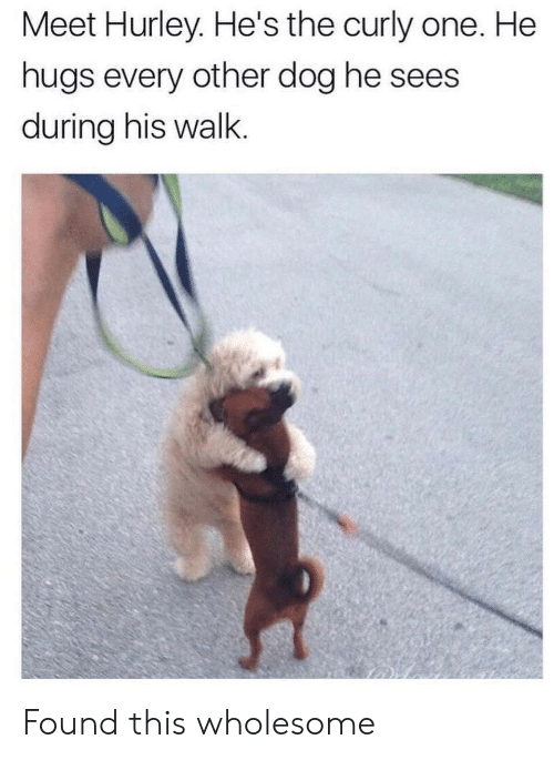 Wholesome, Dog, and Hurley: Meet Hurley. He's the curly one. He  hugs every other dog he sees  during his walk. Found this wholesome